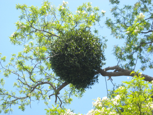 Mistletoe1905-.JPG