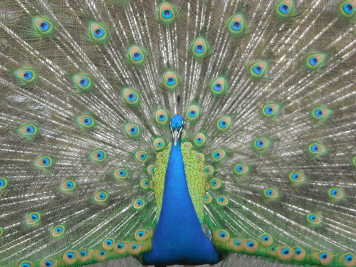 Peacock1876-.JPG